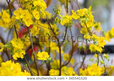 Hoa Mai tree flower Stock photo © smithore