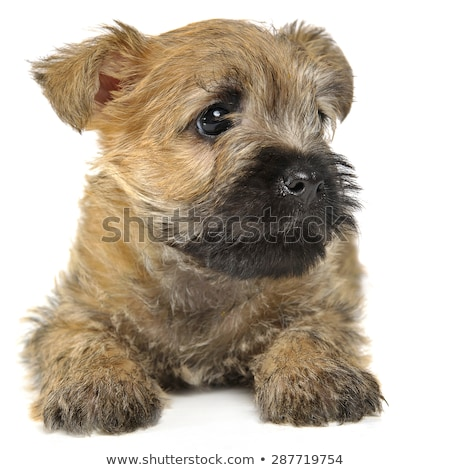 Puppy  cairn terrier lying on the floor Stock photo © vauvau