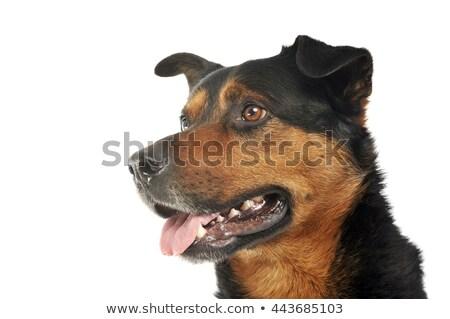 Сток-фото: смешанный · сильный · собака · портрет · белый
