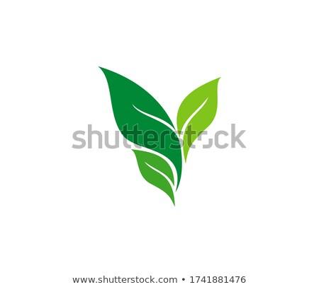 groene · thee · blad · aderen · textuur · geïsoleerd - stockfoto © blackmoon979
