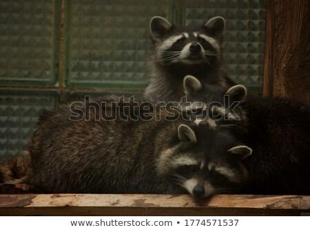 raccoons family Stock photo © adrenalina