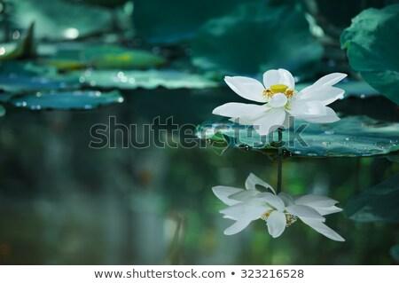 Buda mavi lotus logo örnek Stok fotoğraf © Blue_daemon
