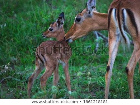 Herd of female Impalas in Kruger. stock photo © simoneeman