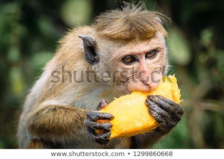 Monkey sitting on the tree and eating a mango Stock photo © galitskaya