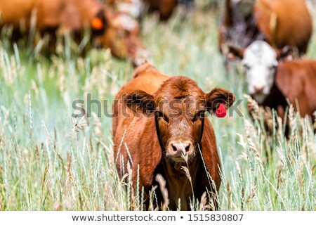 Young cattle grazing Stock photo © cienpies