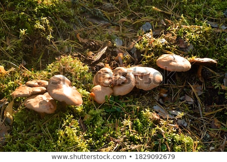 close up of suillus bovinus mushroom Stock photo © dolgachov