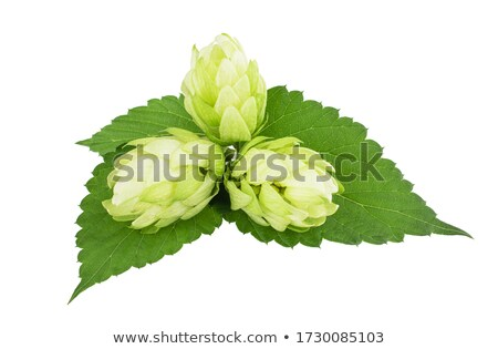 Branch of hop on white background  Stock photo © inxti