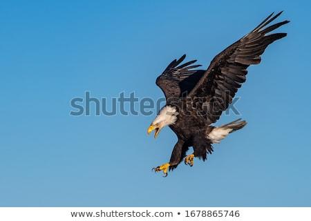 falcão · vetor · grande · natureza · arte · pássaro - foto stock © sifis