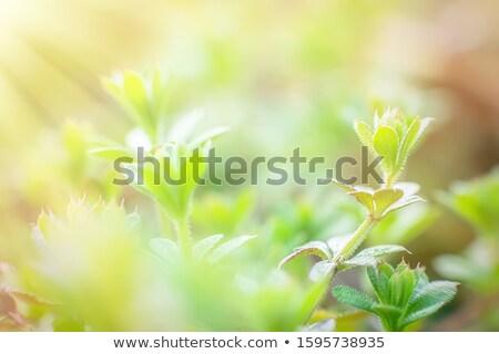 Cleavers Flowers Stock photo © suerob