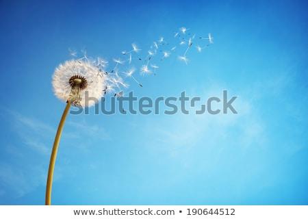 Dandelions on blue sky background Stock photo © boroda