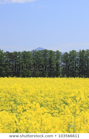Mt. Himekami and Rape field, canola crops  Stock photo © yoshiyayo