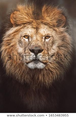 Lion (Panthera leo) Stock photo © ajlber