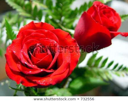The Red Velvet Rose Drops Stock photo © Kuzeytac