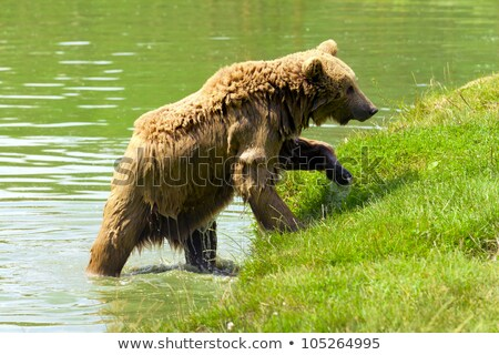 Ours brun bain lac nature Photo stock © frank11