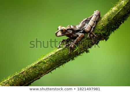 treefrog Stock photo © kikkerdirk
