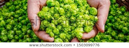 Green hops closeup  Stock photo © inxti