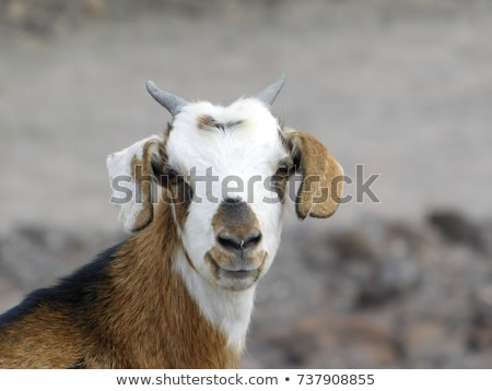 goats in the mountains of Lanzarote  Stock photo © meinzahn