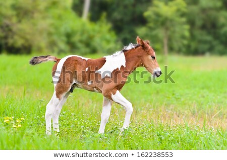 Stock photo: Horse foal walking in green grass