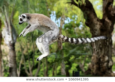 Ring-tailed lemur (Lemur catta) Stock photo © dirkr
