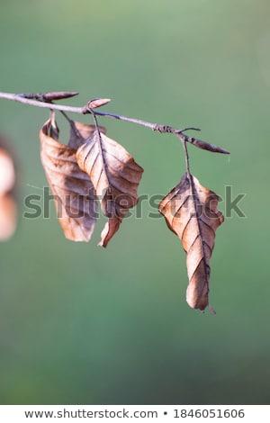 dead leaves closeup  Stock photo © OleksandrO