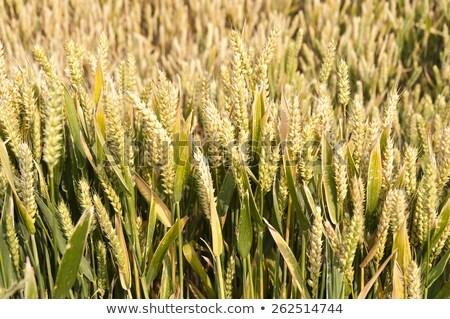 Kukoricamező részlet full frame napos megvilágított levél Stock fotó © prill