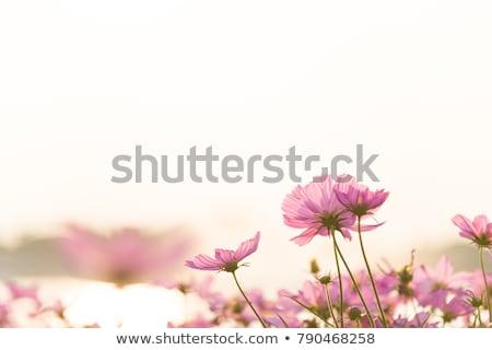 Orange cosmos flower in field Stock photo © stoonn