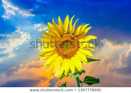 wasp in bloomin sun flower  Stock photo © meinzahn
