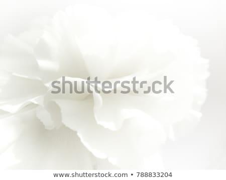 Beautiful White Spring Flower on the White Background. Macro Photo Stock photo © maxpro