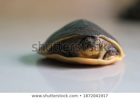 Terrapin portrait Stock photo © EcoPic