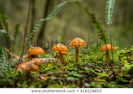 Forest mushroom at Kepler track Stock photo © lostation