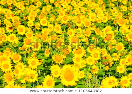 czech republic southern bohemia   field of sunflowers stock photo © courtyardpix