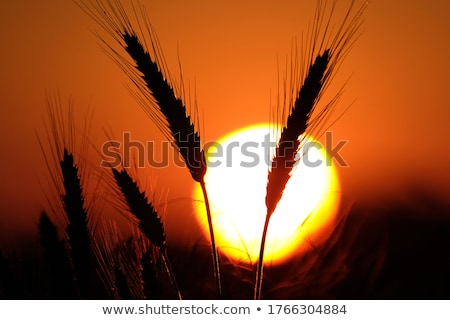 Silhouette of cereal crop ears in sunset Stock photo © stevanovicigor