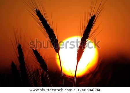 Silueta cereales orejas puesta de sol naranja Foto stock © stevanovicigor