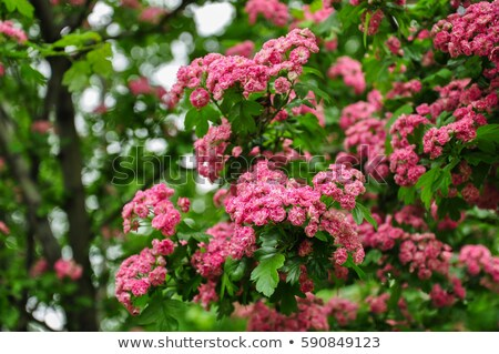 Stock photo: Beautiful pink hawthorn blossom. Spring background