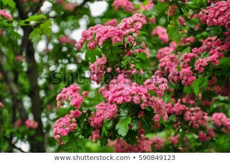 Beautiful pink hawthorn blossom. Spring background stock photo © artsvitlyna