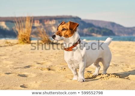 jack russel terrier on beach Stock photo © cynoclub