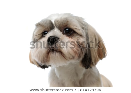 close up of curious shih tzu sitting and looking up Stock photo © feedough
