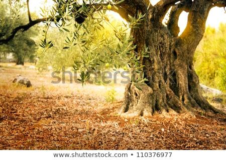 öreg olajfa mediterrán olajbogyó mező gyümölcsös Stock fotó © mythja