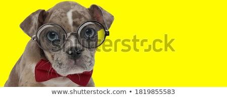 Buzgó kicsi amerikai kutyakölyök visel külső Stock fotó © feedough