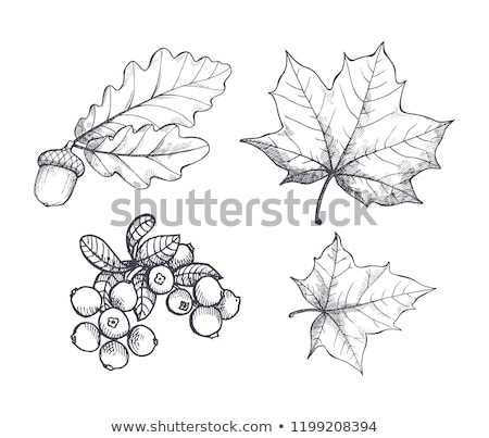 Maple Leaf Autumn Season Period Isolated Vector Stock photo © robuart