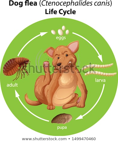 Diagram showing dog flea life cycle Stock photo © bluering