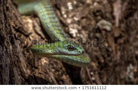 Stock foto: Boomslang Snake