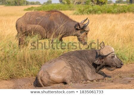 resting Cape Buffalos Stock photo © prill