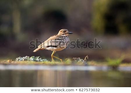 Senegal uccello poco profondo acqua vacanze vacanze Foto d'archivio © suerob