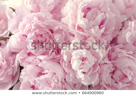 peony flower stock photo © wjarek