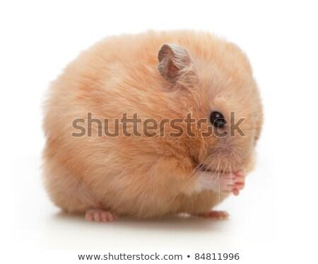 Oyuncak ayı hamster beyaz Stok fotoğraf © devon