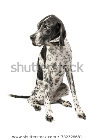 Black english pointer dog  Stock photo © CaptureLight