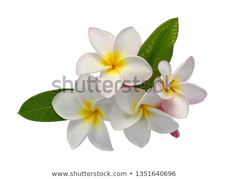 Frangipani Flower Stock photo © cgsniper