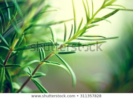 Taze aromatik yeşil biberiye makro açık Stok fotoğraf © juniart