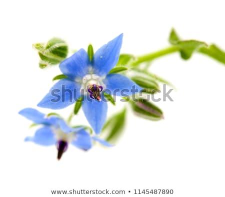 Kék éves gyógynövény ehető levelek virág Stock fotó © byjenjen